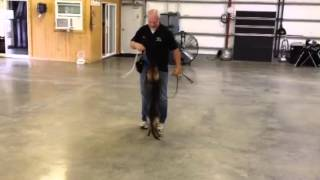 Enzo Von Prufenpuden Bloodlines Obedience Training German Shepherd Protection Dogs For Sale