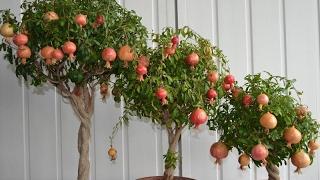 видео Выращивание апельсина в домашних условиях из косточки