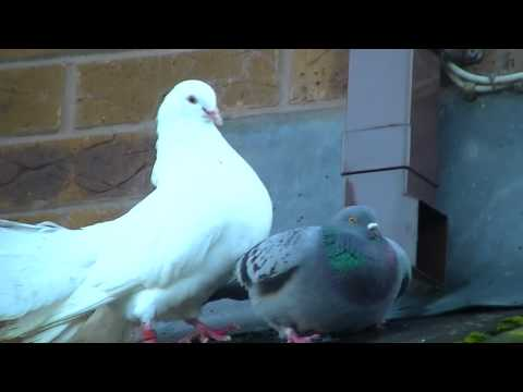 Fantail dove mating with feral pigeon.