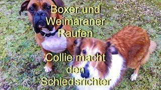 Weimaraner Und Boxer Beim Raufen - Collie Macht Den Schiedsrichter - It's Awesome!