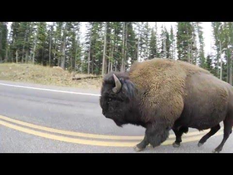 *GOPROroadtrip* Yellowstone Drive Thru - Yellowstone Nat'l Park (2,7K@50fps)