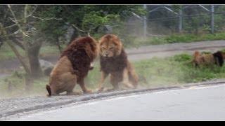 富士サファリパークでライオンの格闘に遭遇 迫力ありました!