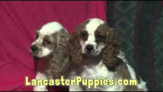 Cocker Spaniel Puppies For Sale!