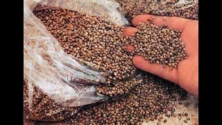 Семена конопли для рыбалки в рыболовную прикормку для насадок и бойлов для рыбалки
