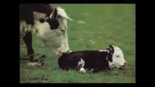 우유는 어미소의 슬픔으로 만들어집니다  (유기농 유제품…