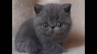 Рокки - экзотический кот (экзот)