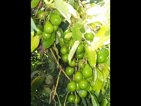 Top working Avocado Tree pruning and propagating