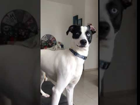 Jim Show - Dog Looks Shocked When Human Scolds Him!