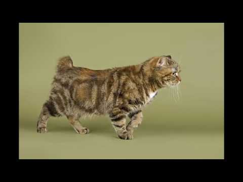 most beautiful cats / kedi cinsleri - manx / cat breeds - manx