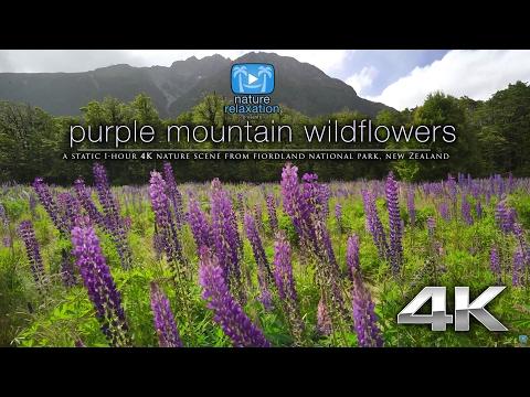 4K: New Zealand Purple Wildflowers - 1 HR HDR Static Nature Scene - Milford Sound