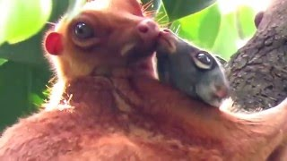 Video Sunda Colugo (or Malayan colugo, or Malayan Flying Lemur) at MacRitchie Reservoir, Singapore download MP3, 3GP, MP4, WEBM, AVI, FLV Agustus 2017