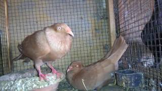 Yellow Danish Tumbler Pigeons 03459442750 Zain Ali farming in Pakistan urdu/hindi