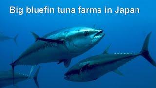 Тунцовые фермы в Японии /  Japan Blue Fin Tuna Farm