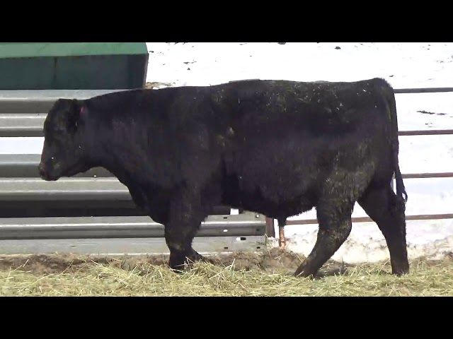 Connealy Angus Lot 453