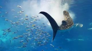 [아쿠아리움] 츄라우미 수족관 고래상어의 식사 시간 […
