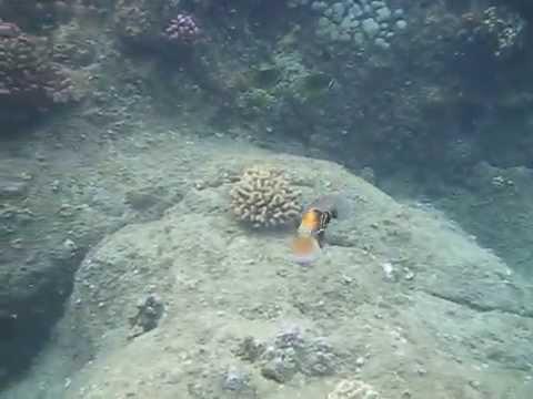 Reef triggerfish (humuhumunukunukuapua