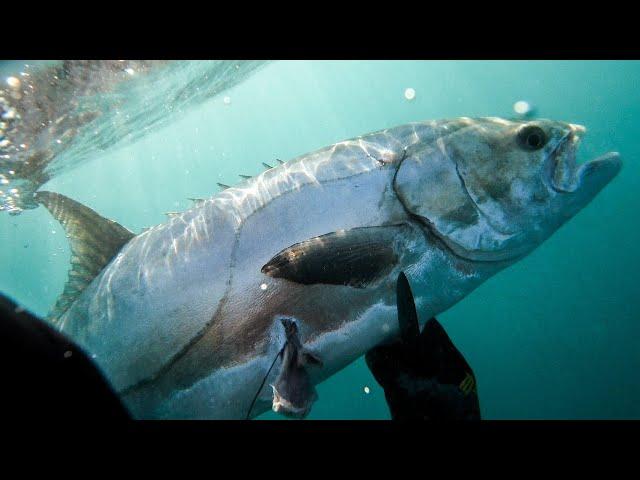 The SPEARFISHING WORLD RECORD Lichia amia 🏆 |Spearfishing Life 🇬🇷