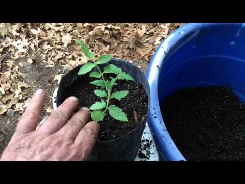 How To get Explosive Root Growth From 6 Pack Tomato Plants!