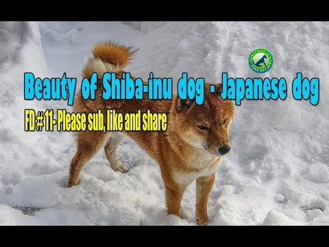Beauty of Shiba-inu dog - Japanese dog - FD 11