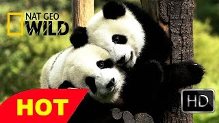 Life of Panda BBC wildlife animal documentary National geographic Full HD
