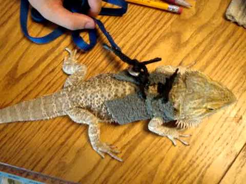 Bearded Dragon Harness #2 - YouTube
