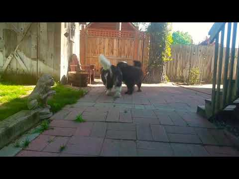 Two Giant Dogs Playing