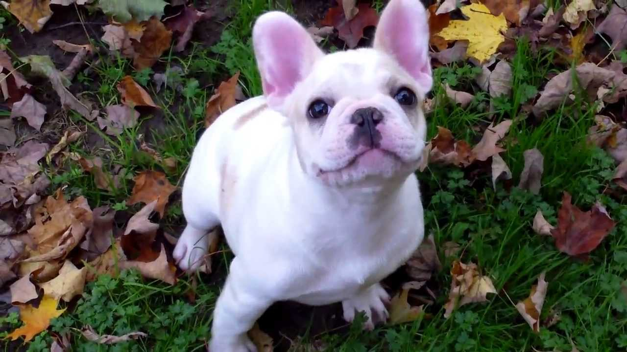 french bulldog maine french bulldog puppies autumn in maine aristocrat french 4570