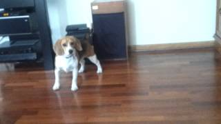 Crazy Beagle Chasing His Tail