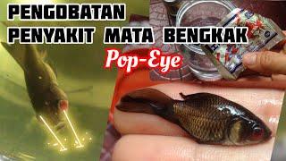 Cara mengobati ikan cupang mata bengkak (pop eye).