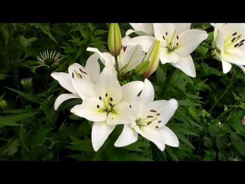 Красивая белая лилия