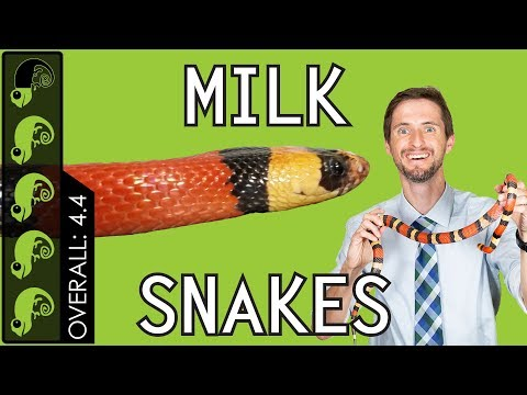 Pueblan Milk Snake (Campbell's Milk Snake) [VIDEO