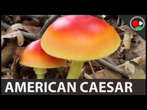 American Caesar's Mushroom: Retro-Mushroom Week #3