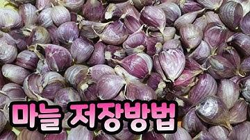 [차차네집밥] 1년이 지나도 썩지 않는 마늘 보관 특급 비법 (How to store garlic for long time)
