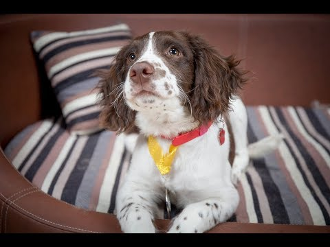 Milo - Springer Spaniel Puppy - 3 Weeks Residential Dog Training