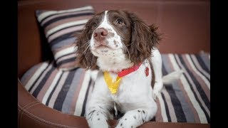 Milo  Springer Spaniel Puppy  3 Weeks Residential Dog Training