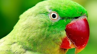 HAND TAME TALKING ALEXANDRINE PARAKEET   Alexandrine parrot 🦜
