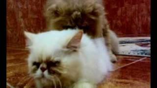 تزاوج قطة بيكي فيس ، مون فيس، قطط شيرازية