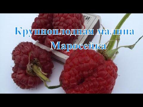 Крупноплодная малина Маросейка | крупноплодная | маросейки | маросейка | саженцы | малины | малина | лучшие | летней | сорта