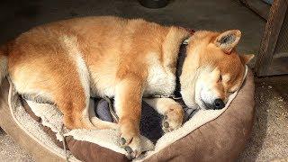 柴犬が昼寝中だったところを起きてきてナデナデを要求してきましたが、 ...