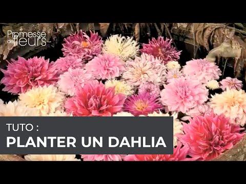vidéo jardinage : planter un dahlia - youtube