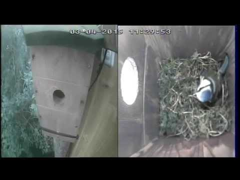 Blue Tits Nest Box 3rd April