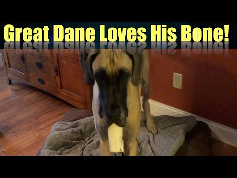 Great Dane Finn and Magic Love Their Bones!