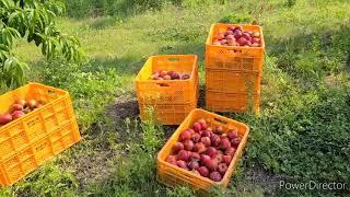 충주과수원.천도복숭아수확판매.포장.택배발송 현장모습. …