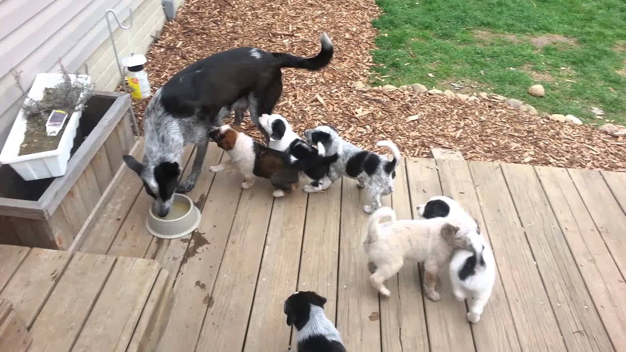 Mama Weaning Puppies Youtube