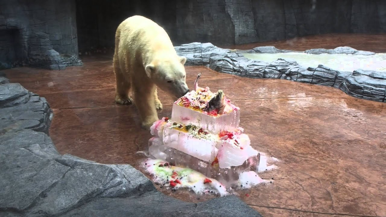 Inuka the polar bear turns 24! - YouTube