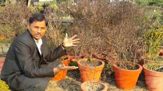 तुलसी को गमले में उगाने की वैज्ञानिक विधि