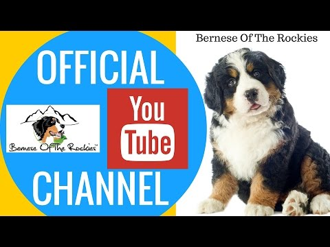 Bernese Mountain Dogs | Bernese Of The Rockies