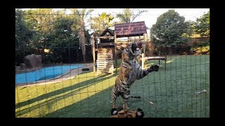 Tigers just loves feeding time