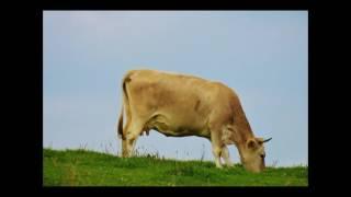 ВРЕД МОЛОКА / вред молока и молочных продуктов, вред кефира, вредно для человека