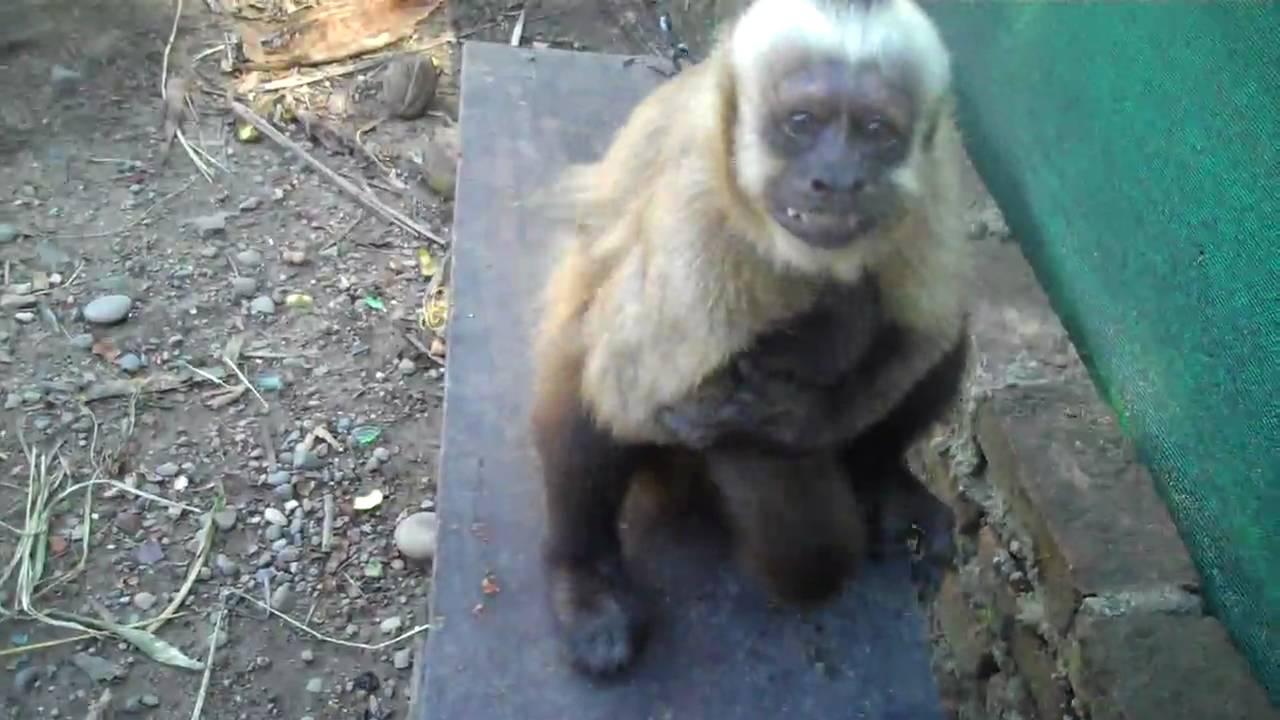 Female Capuchin Mating Behavior - Youtube-6604